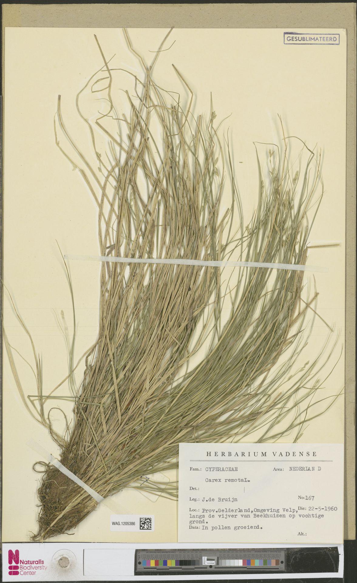 WAG.1205386 | Carex remota L.