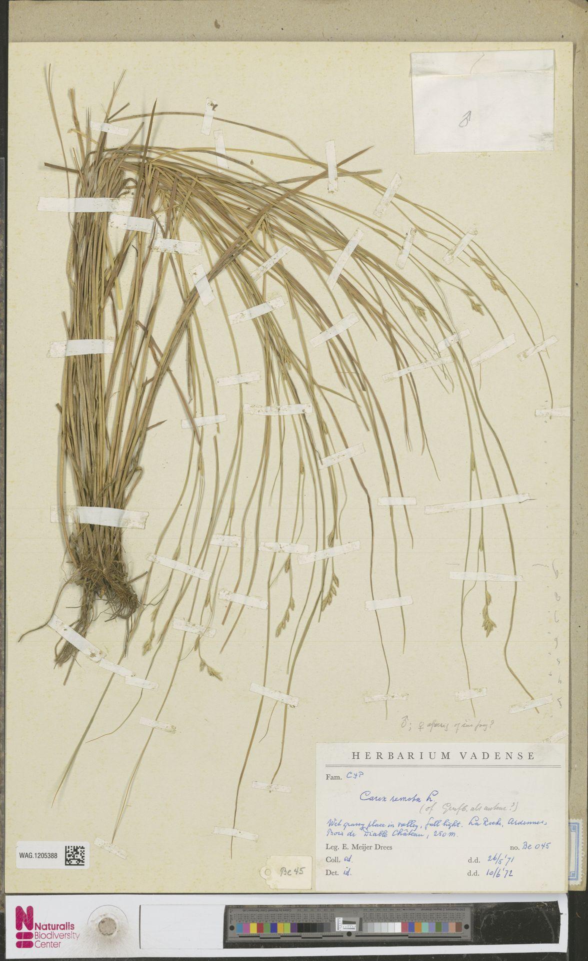 WAG.1205388 | Carex remota L.