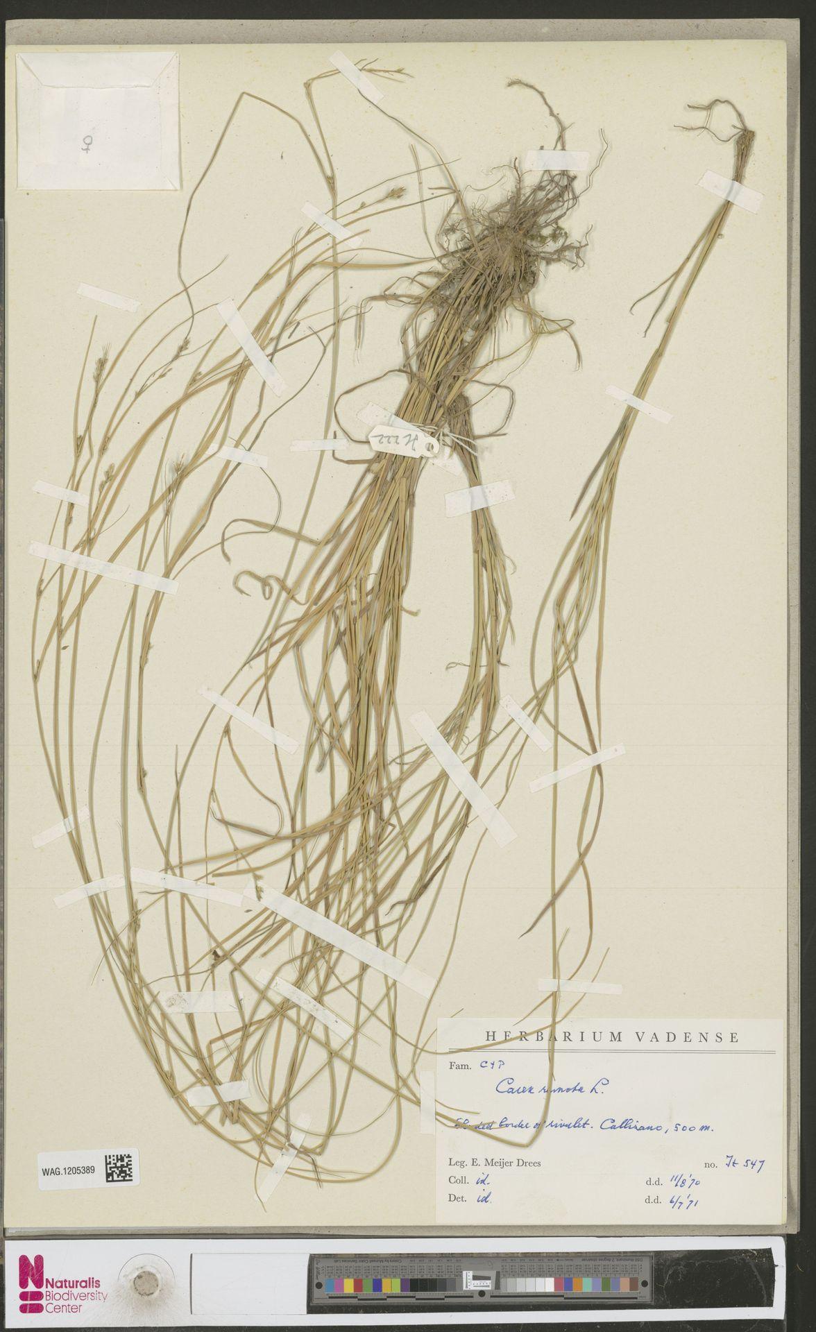 WAG.1205389 | Carex remota L.