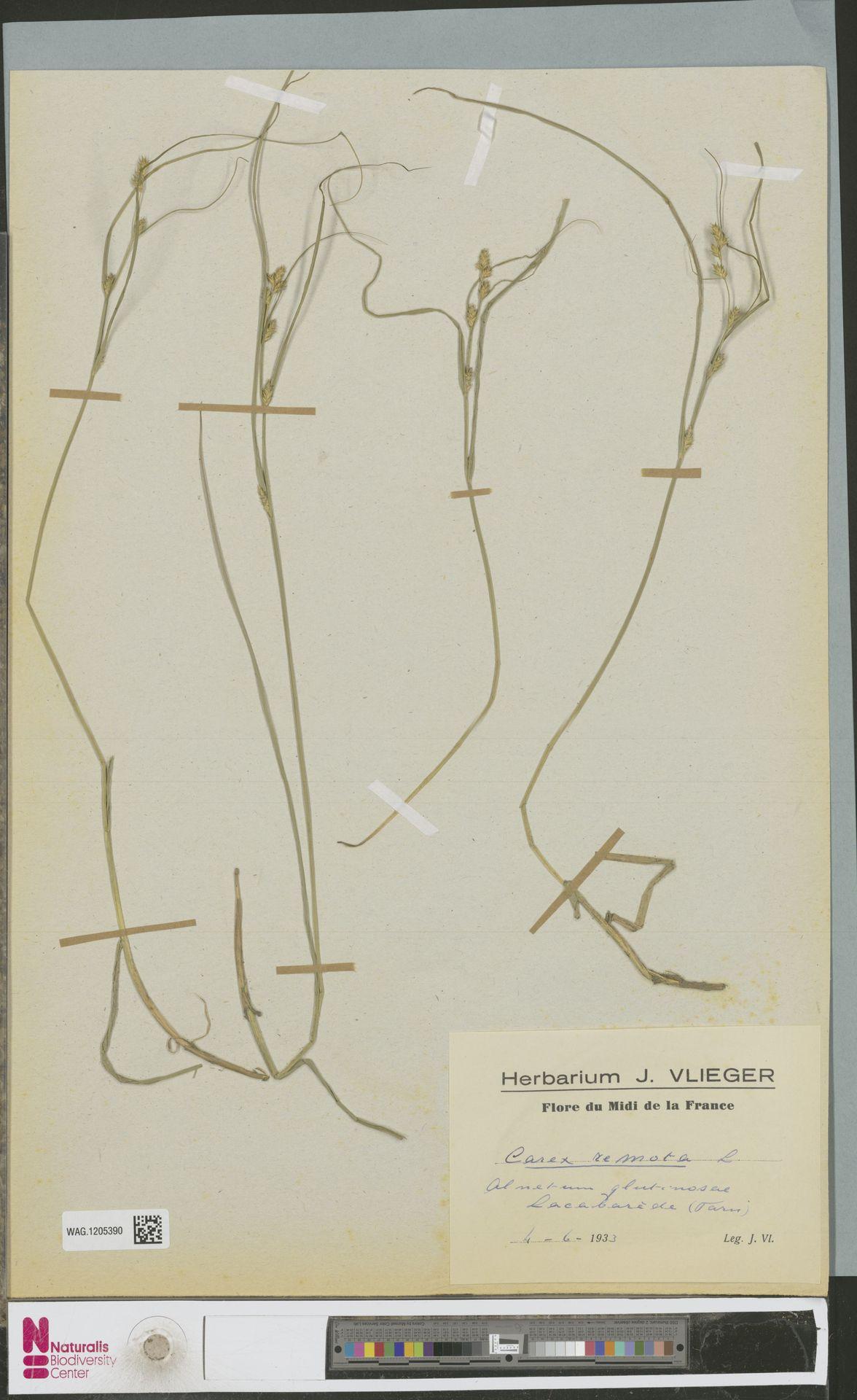 WAG.1205390 | Carex remota L.
