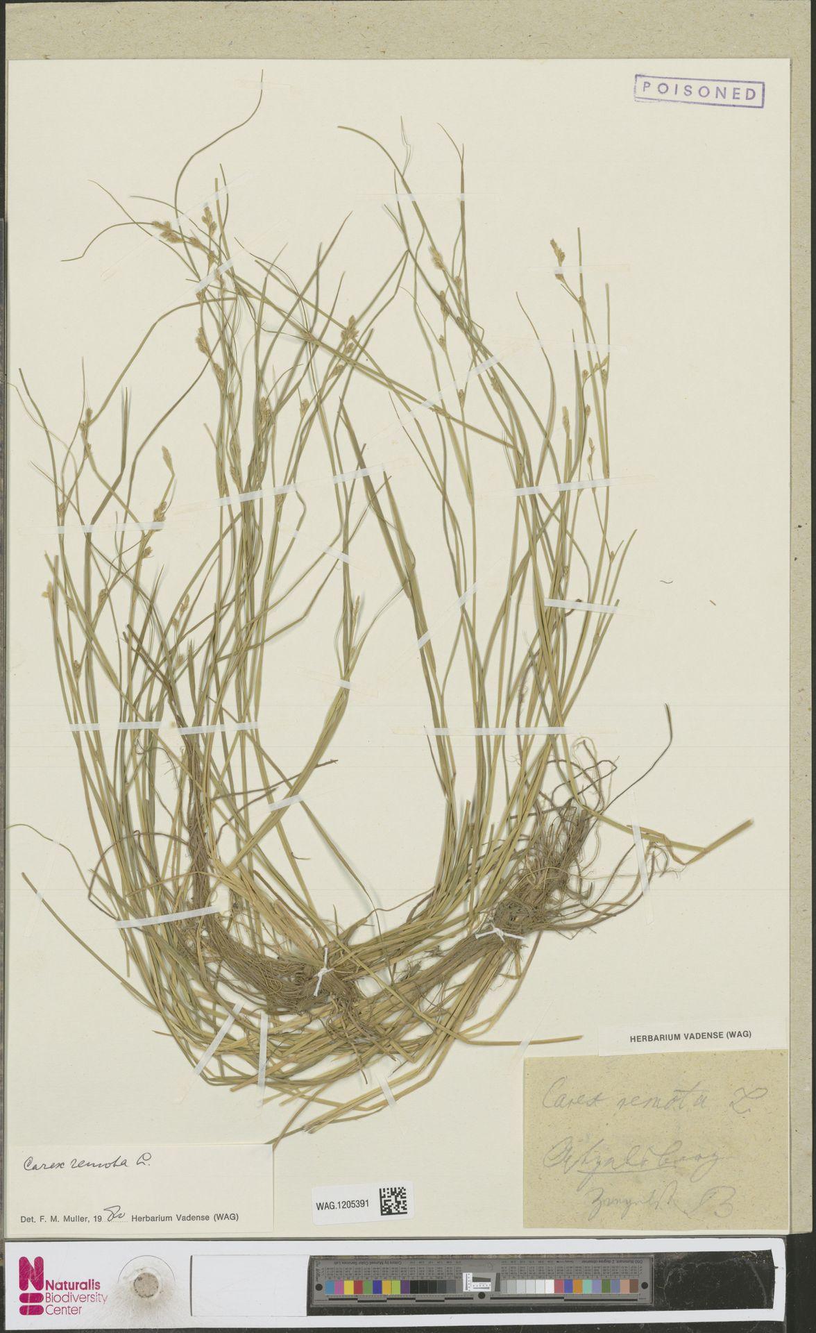 WAG.1205391 | Carex remota L.