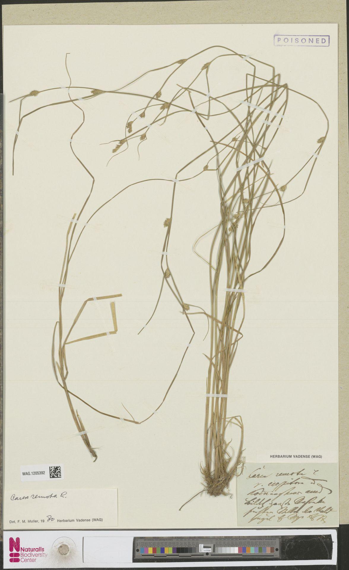 WAG.1205392 | Carex remota L.