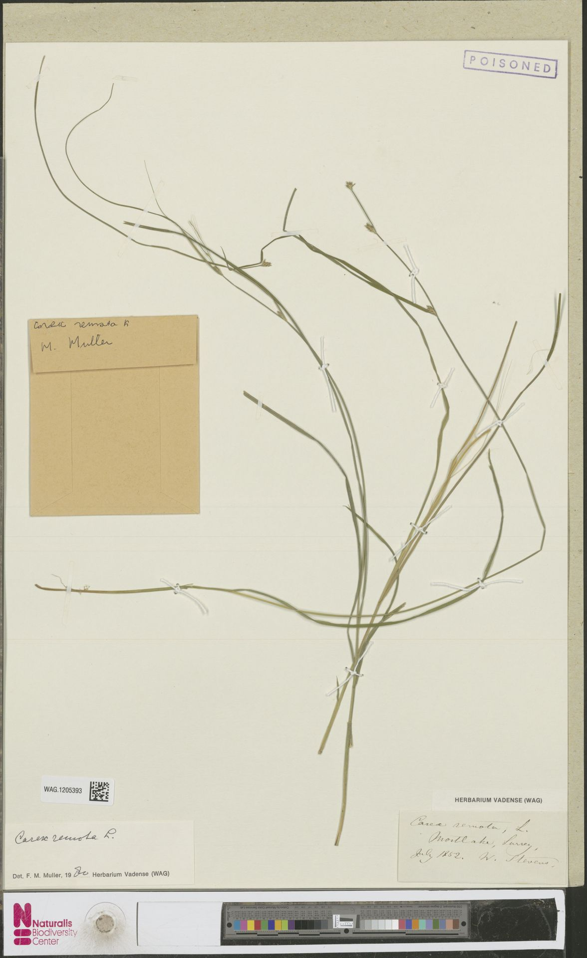 WAG.1205393   Carex remota L.