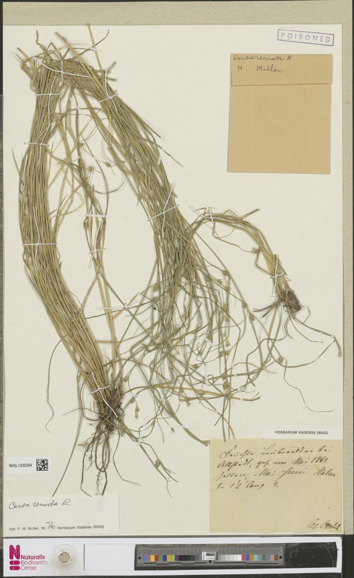 WAG.1205394 | Carex remota L.