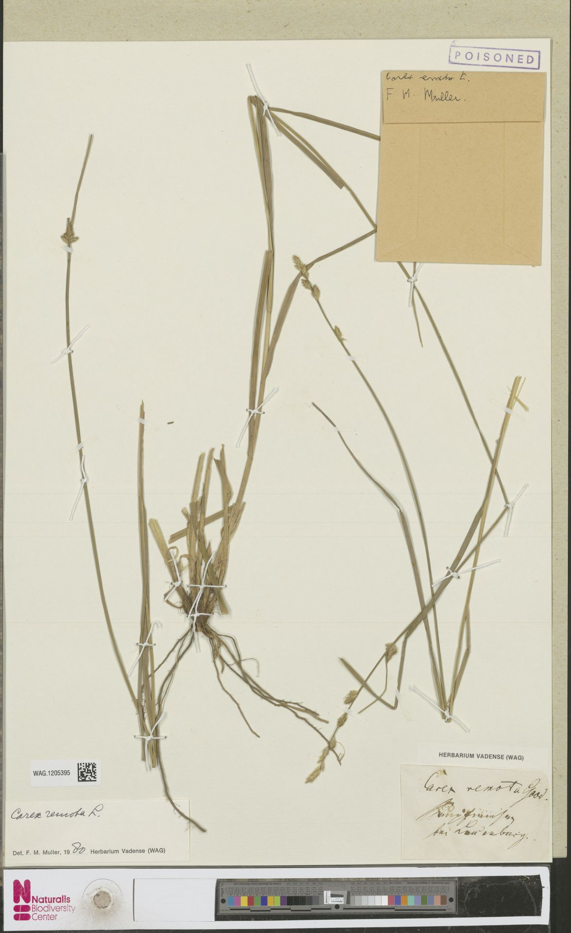 WAG.1205395 | Carex remota L.