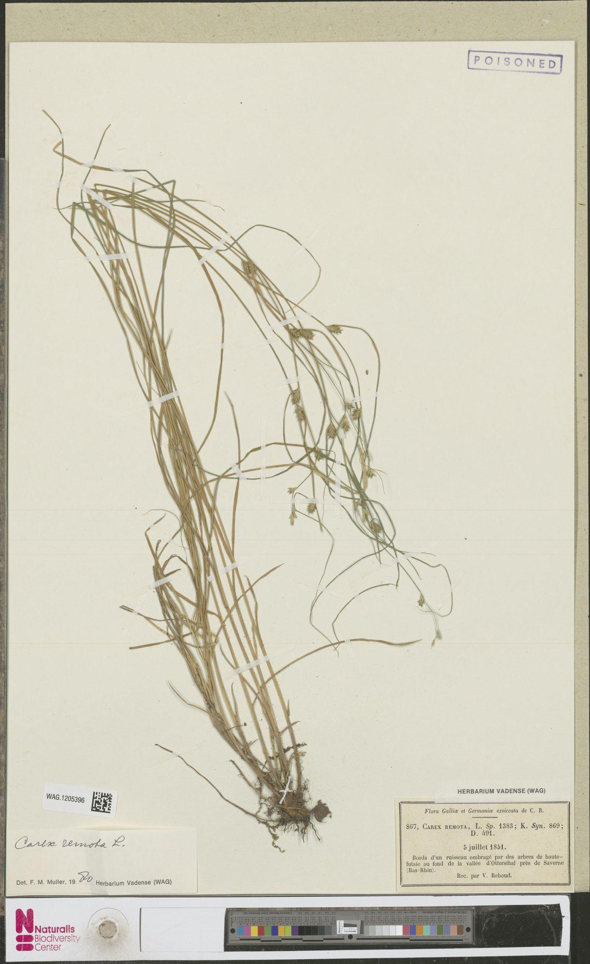 WAG.1205396 | Carex remota L.