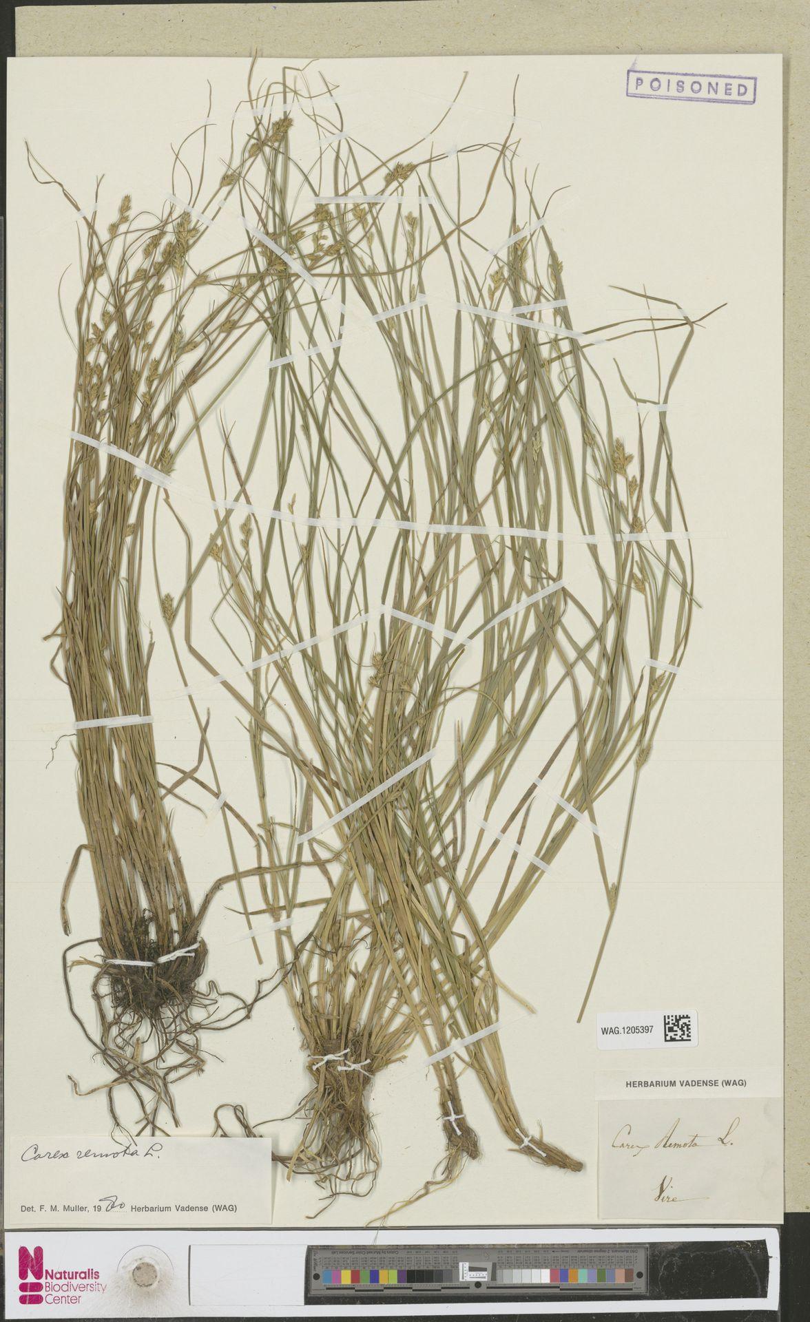 WAG.1205397 | Carex remota L.