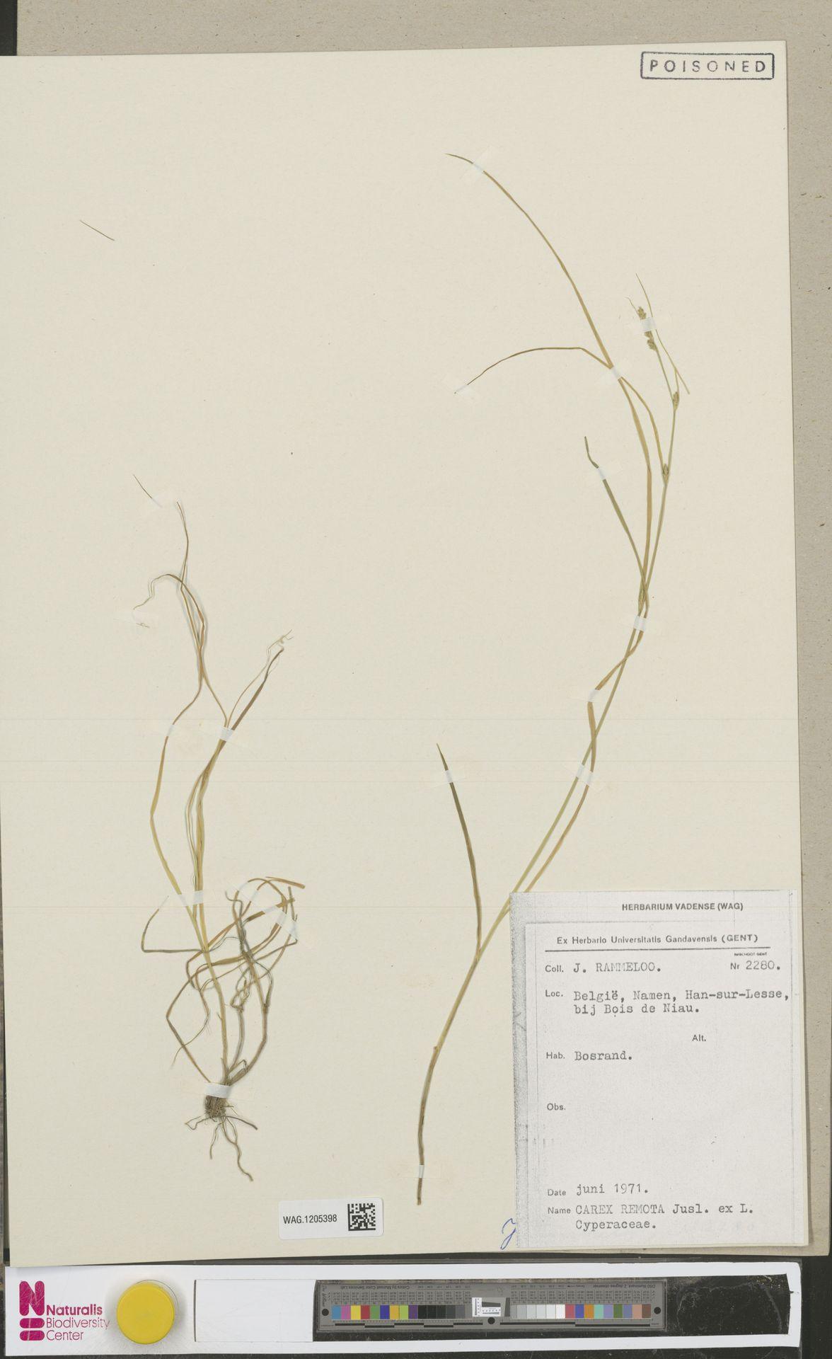 WAG.1205398 | Carex remota L.