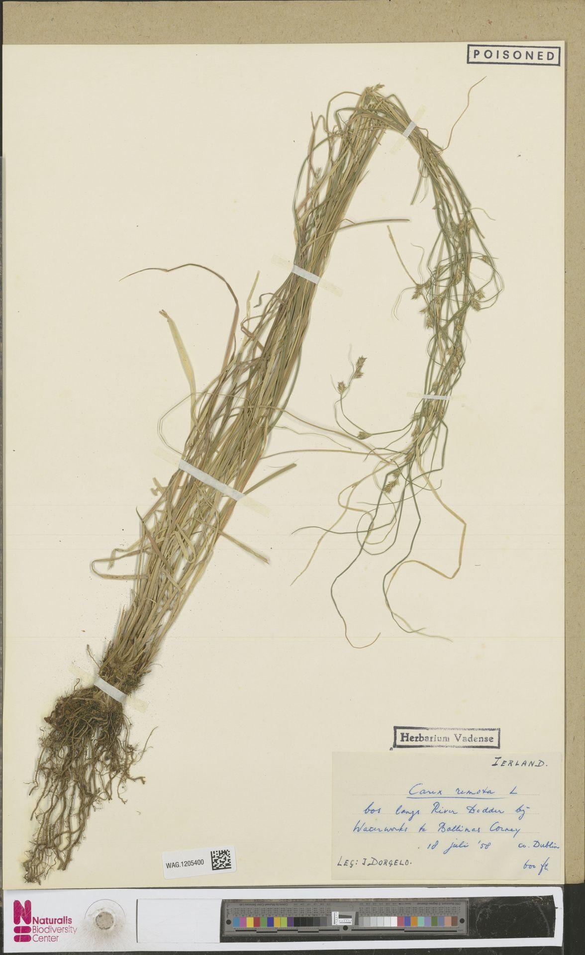 WAG.1205400 | Carex remota L.