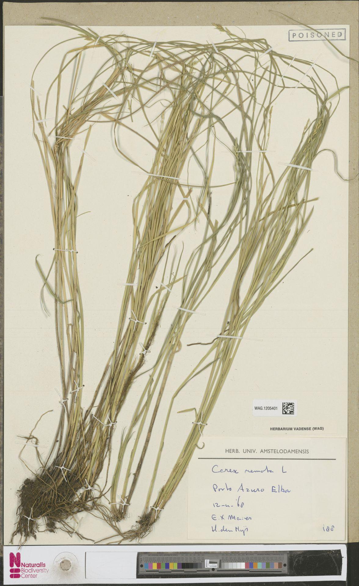 WAG.1205401 | Carex remota L.