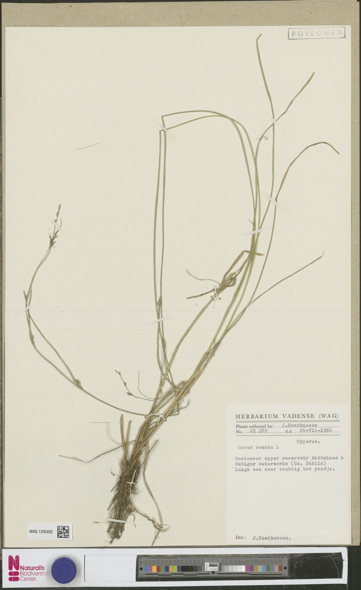 WAG.1205402 | Carex remota L.
