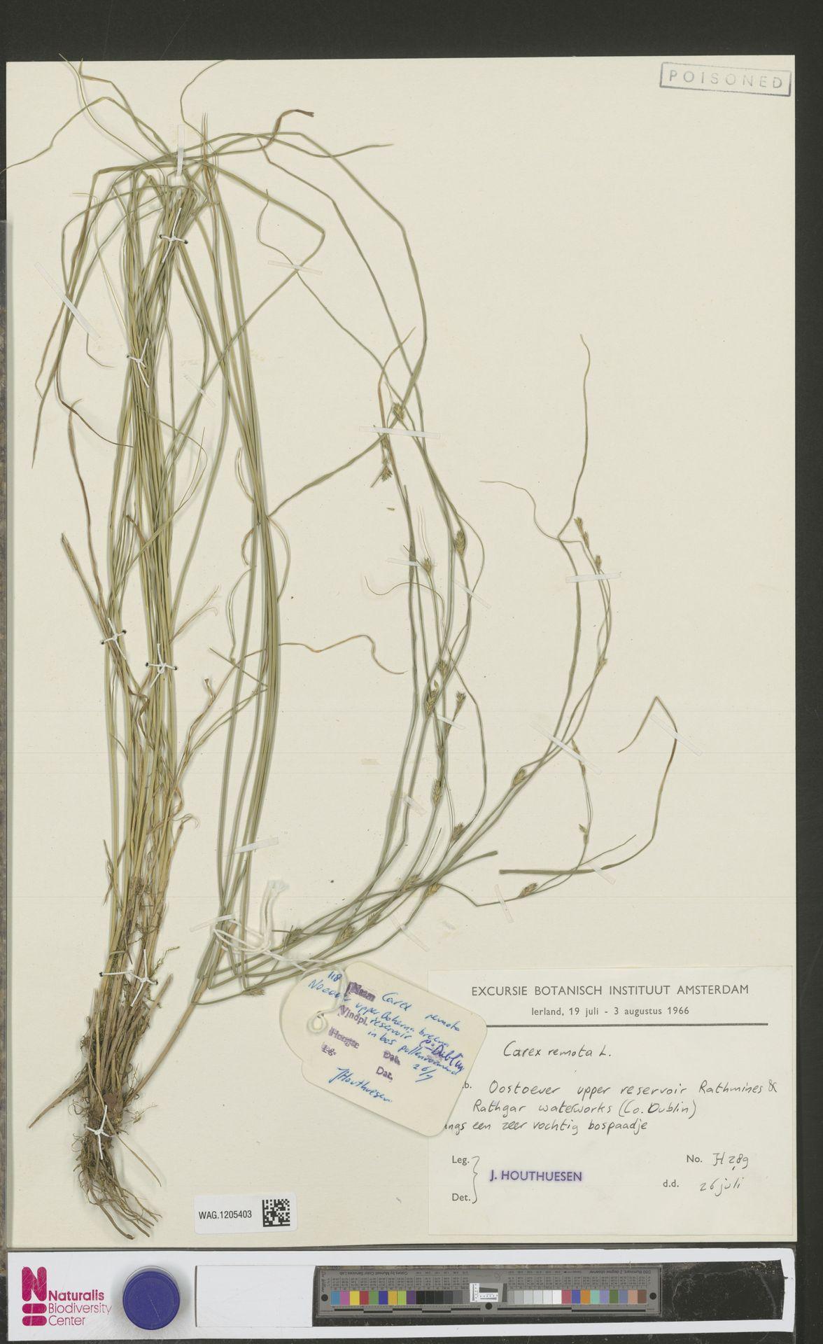 WAG.1205403 | Carex remota L.