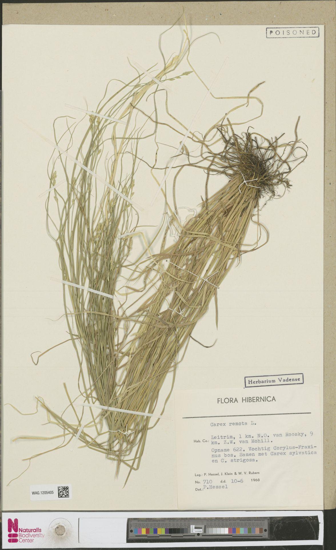WAG.1205405 | Carex remota L.