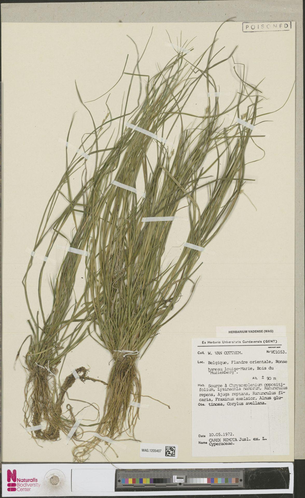 WAG.1205407 | Carex remota L.