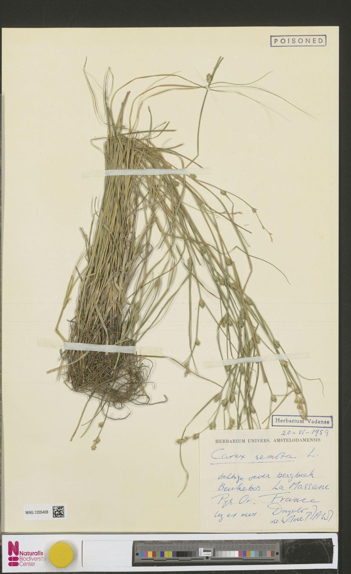 WAG.1205408 | Carex remota L.