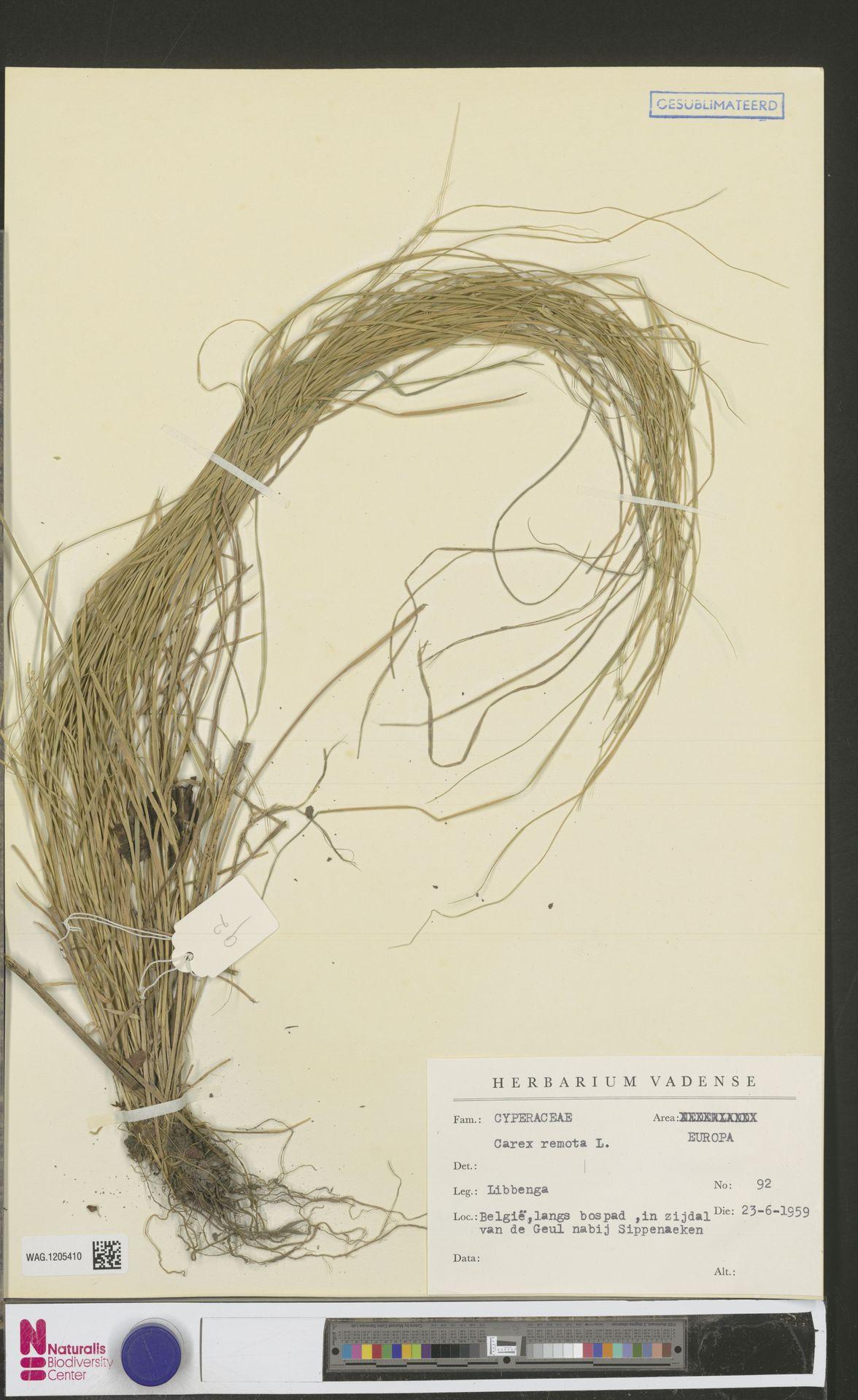 WAG.1205410   Carex remota L.