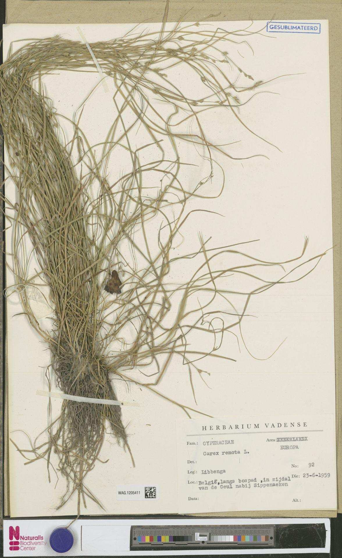 WAG.1205411 | Carex remota L.