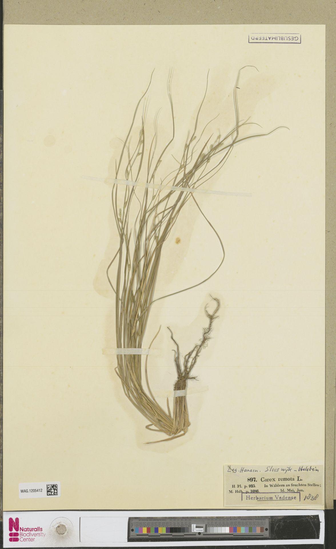 WAG.1205412 | Carex remota L.