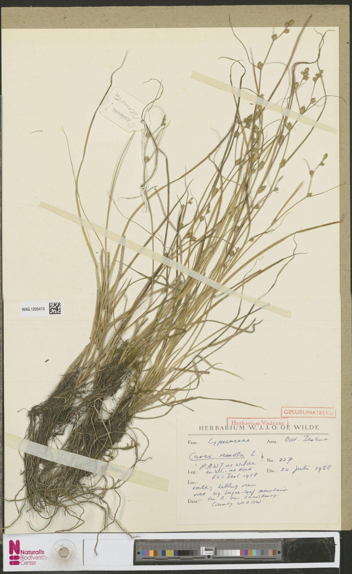 WAG.1205413 | Carex remota L.