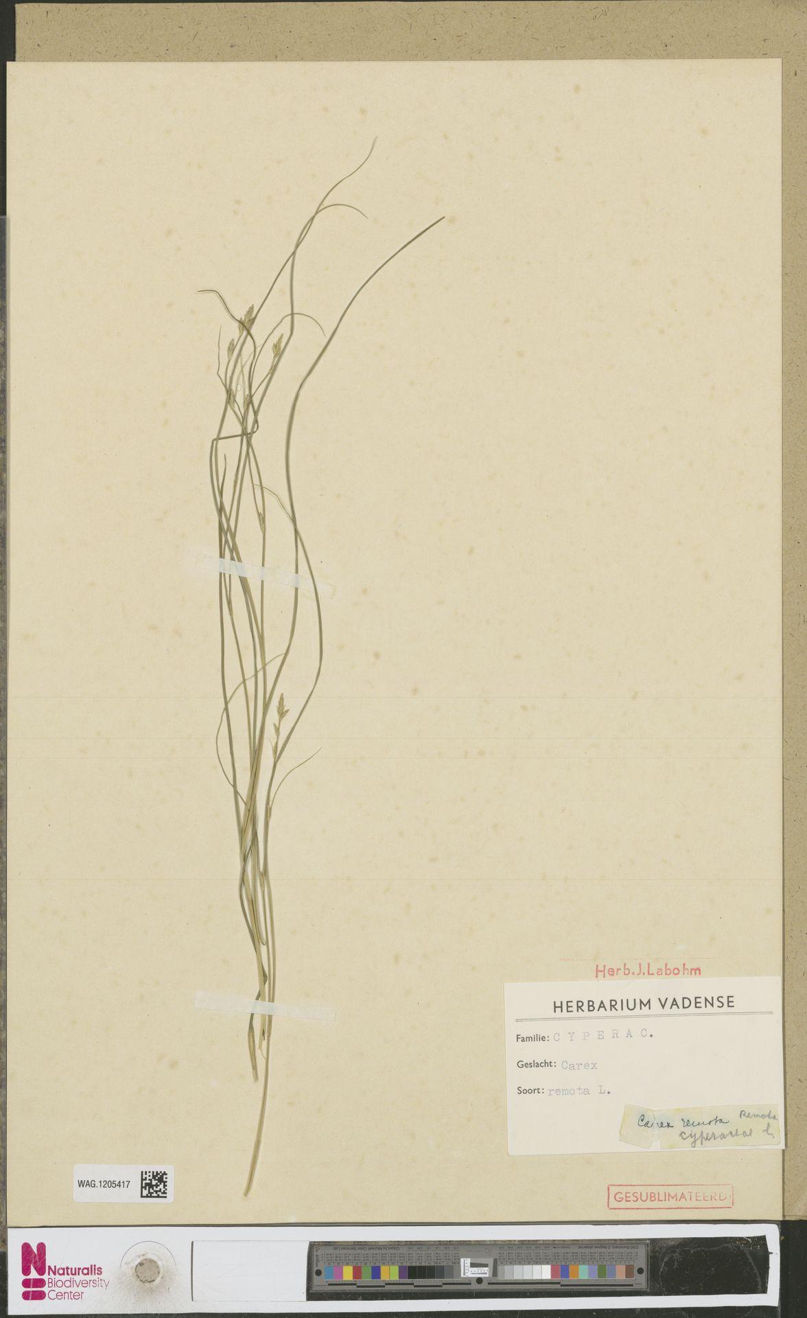 WAG.1205417 | Carex remota L.