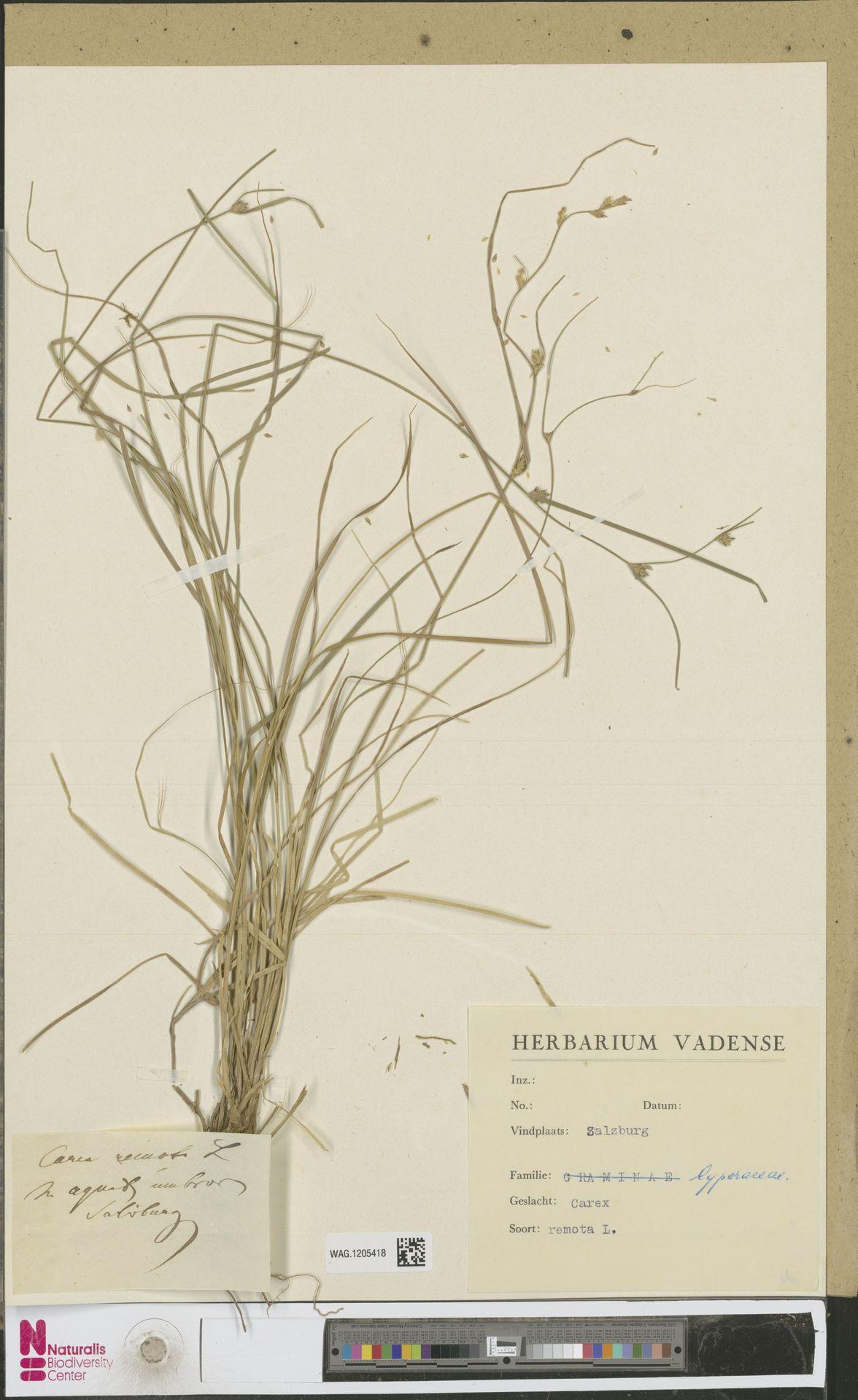 WAG.1205418 | Carex remota L.