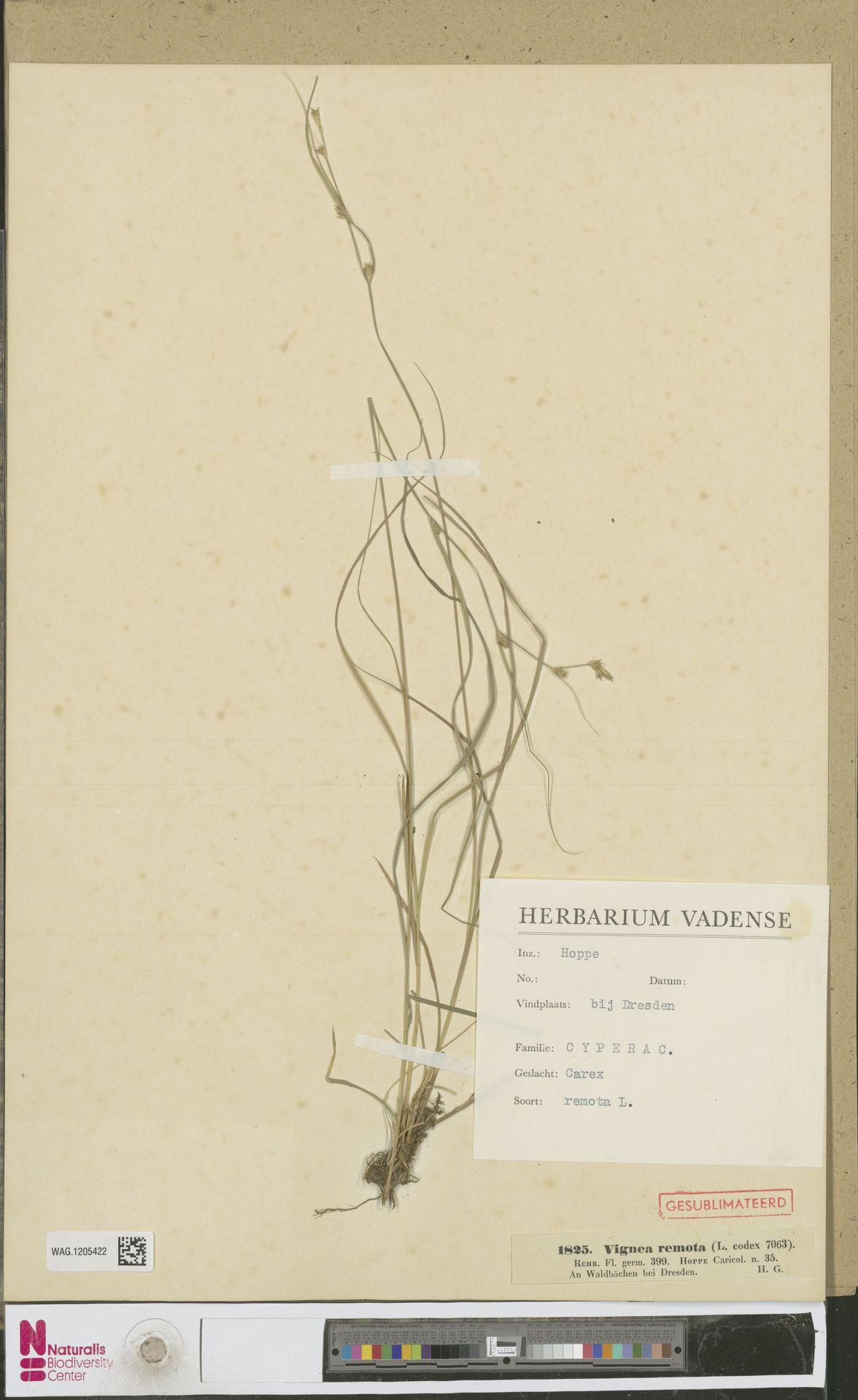 WAG.1205422 | Carex remota L.