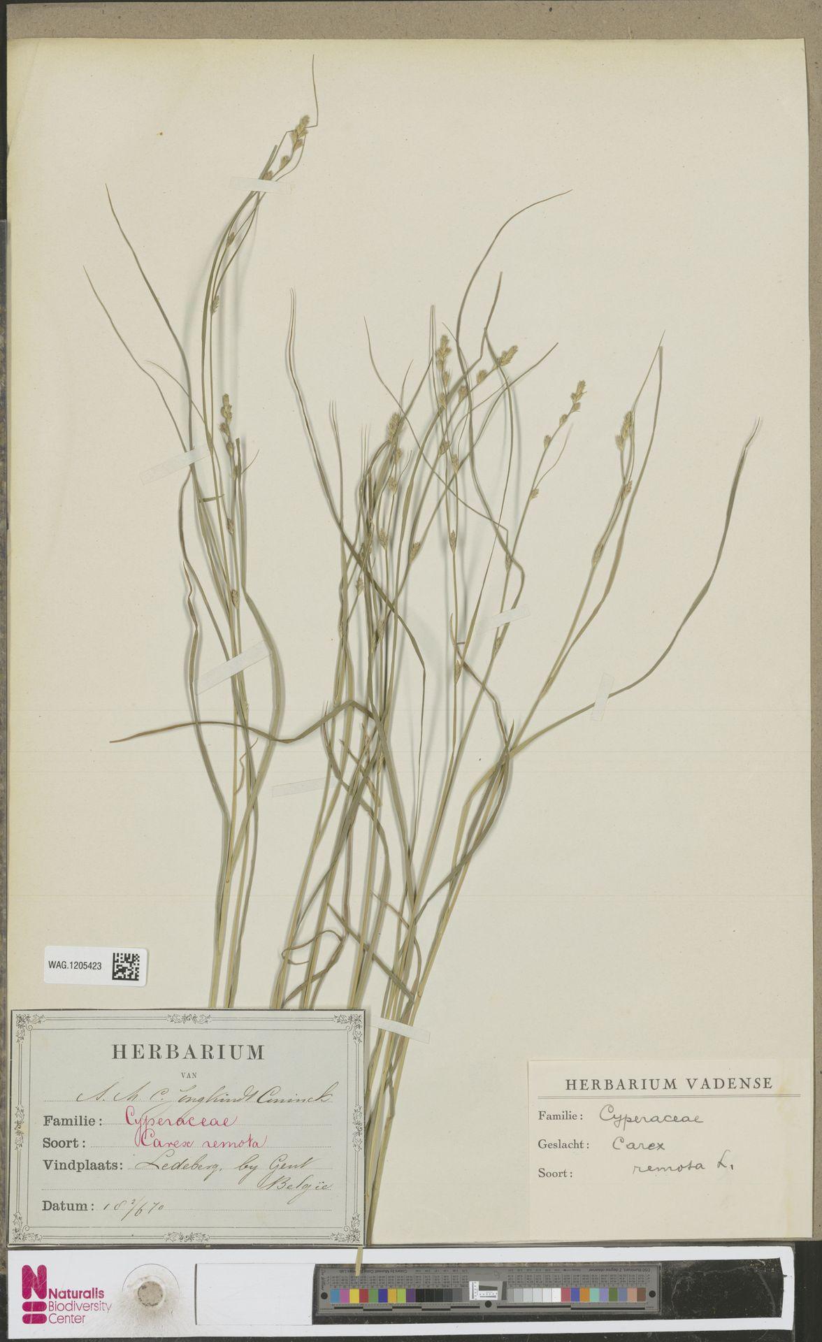 WAG.1205423 | Carex remota L.