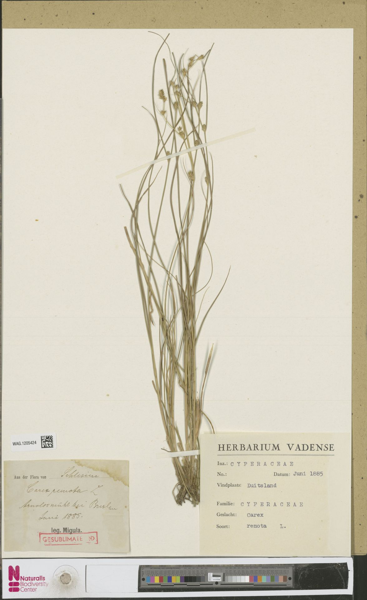WAG.1205424 | Carex remota L.