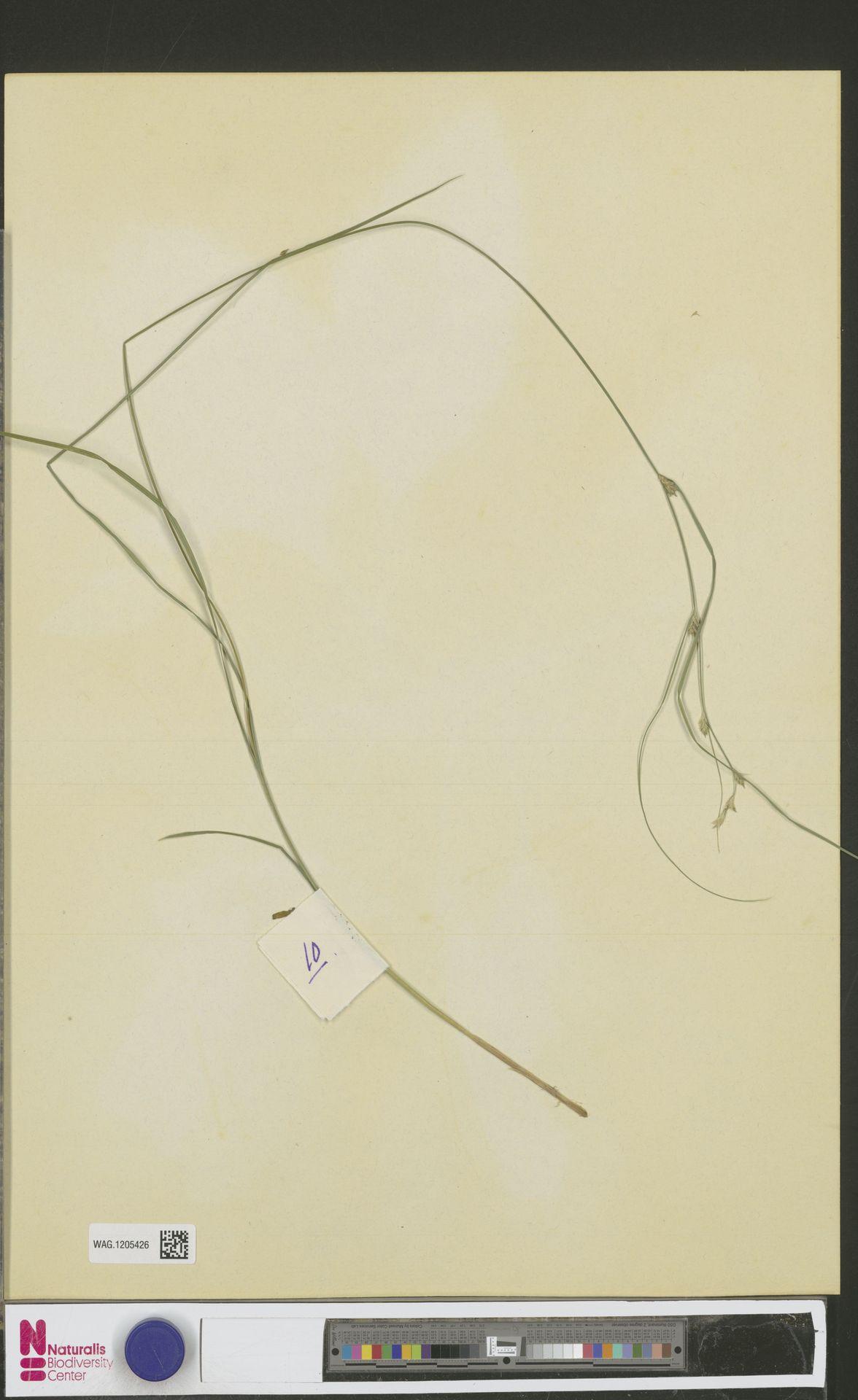 WAG.1205426 | Carex remota L.