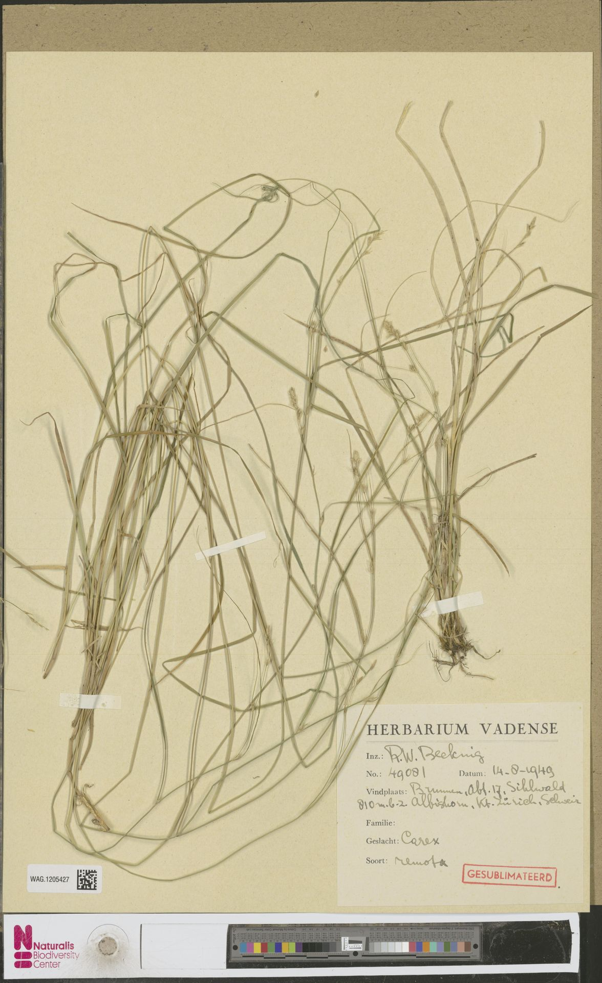 WAG.1205427   Carex remota L.