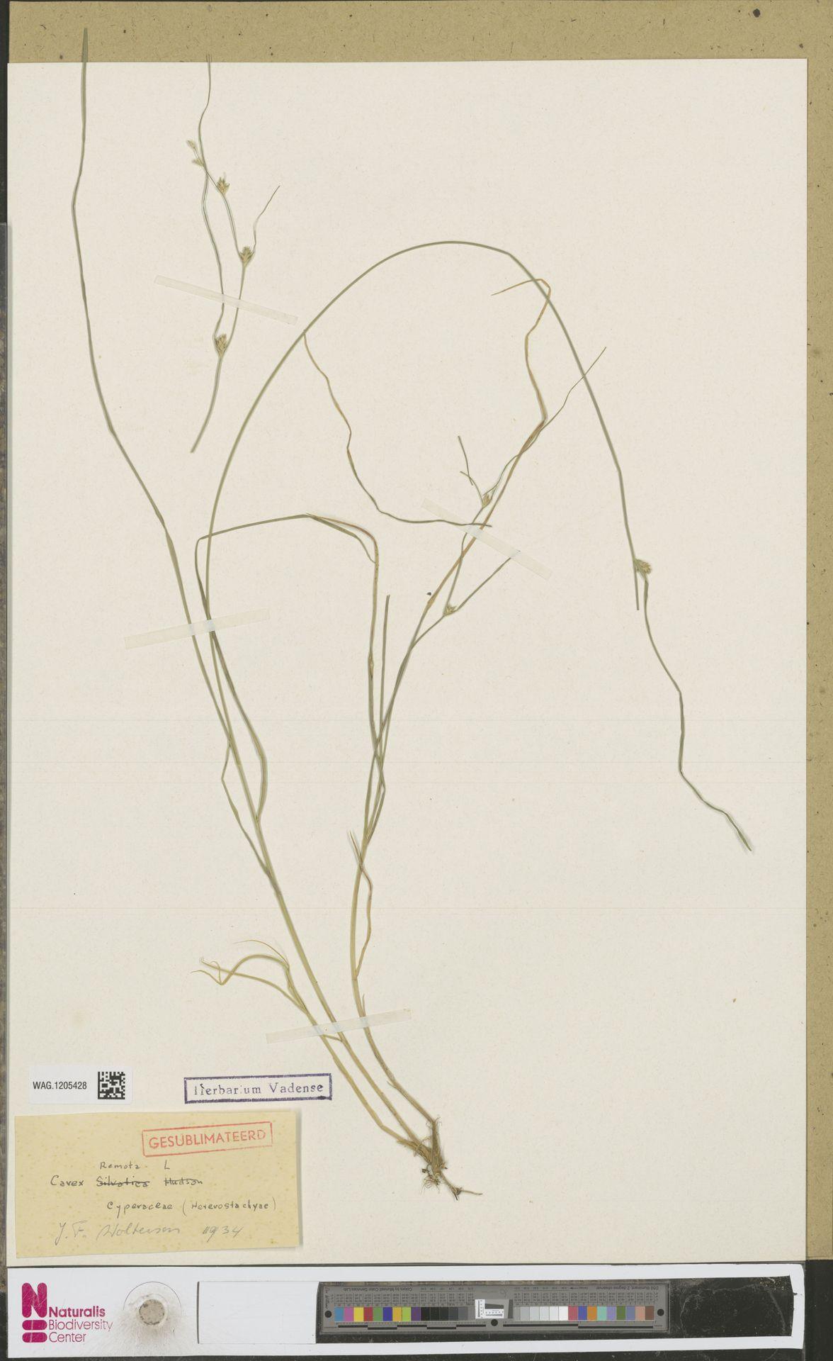 WAG.1205428   Carex remota L.