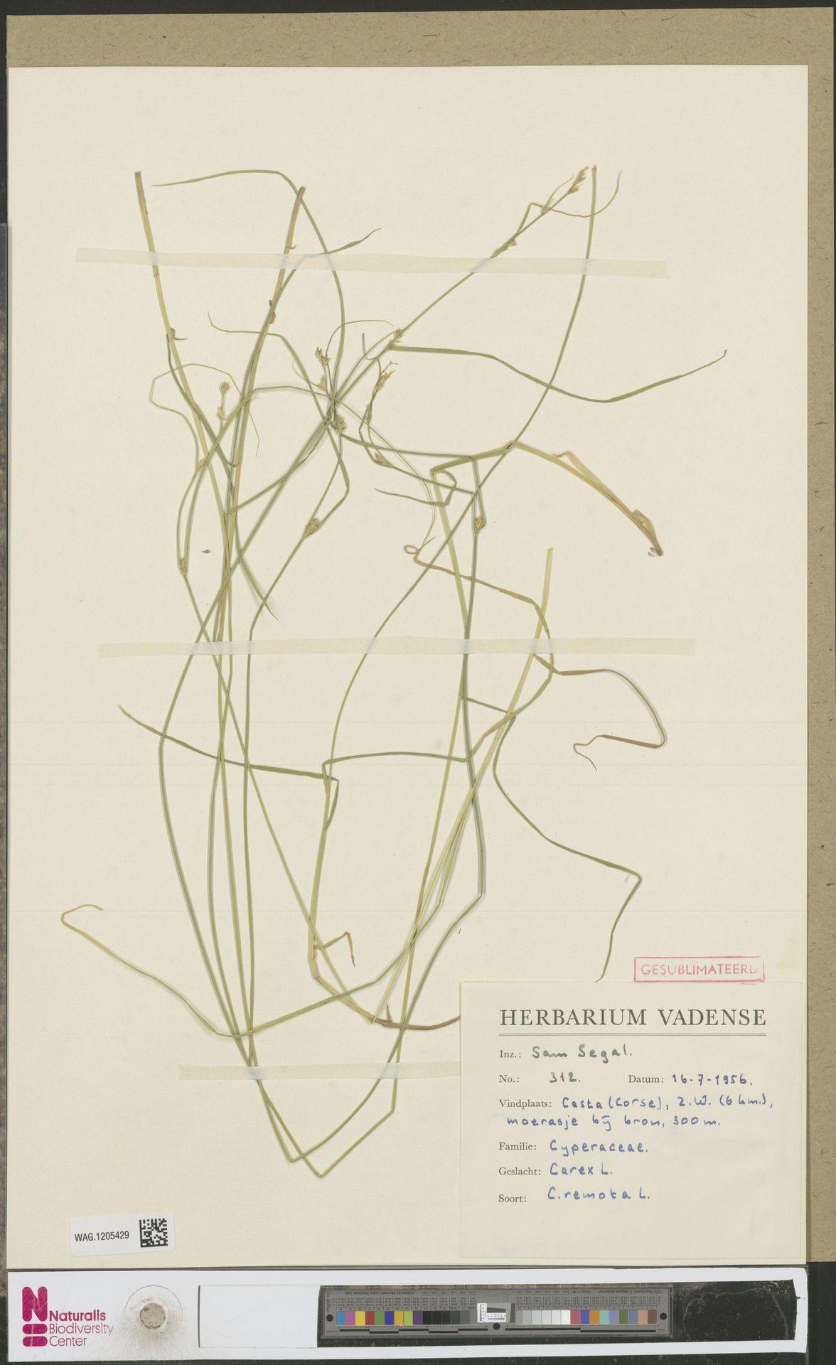 WAG.1205429 | Carex remota L.