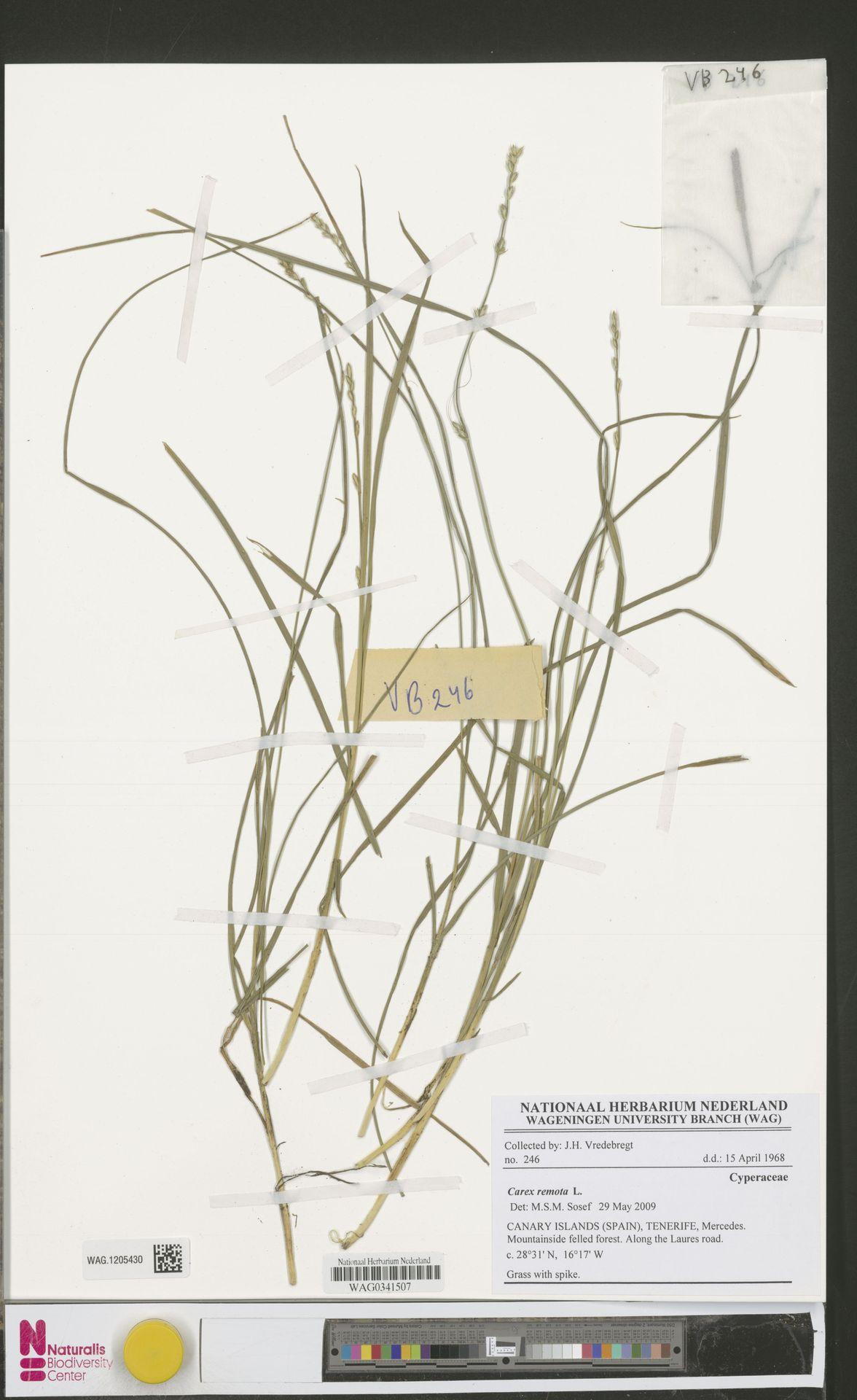 WAG.1205430 | Carex remota L.