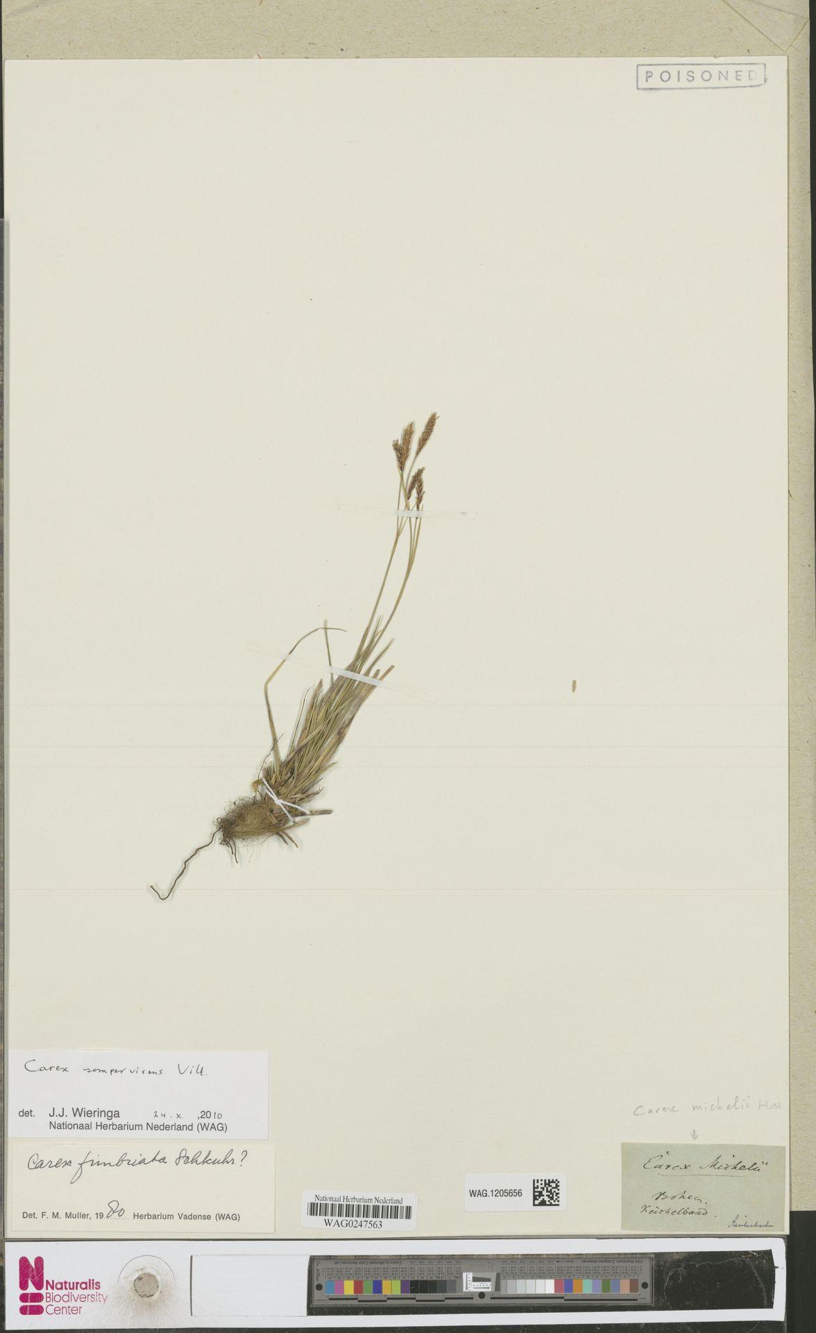 WAG.1205656 | Carex sempervirens Vill.