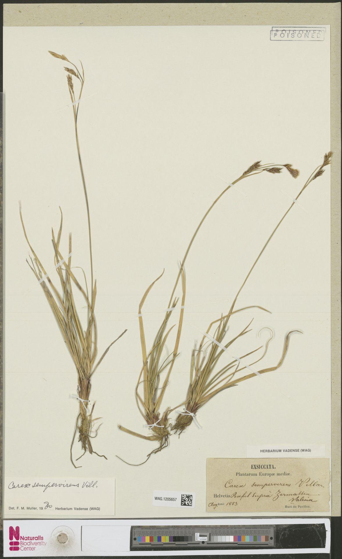 WAG.1205657 | Carex sempervirens Vill.