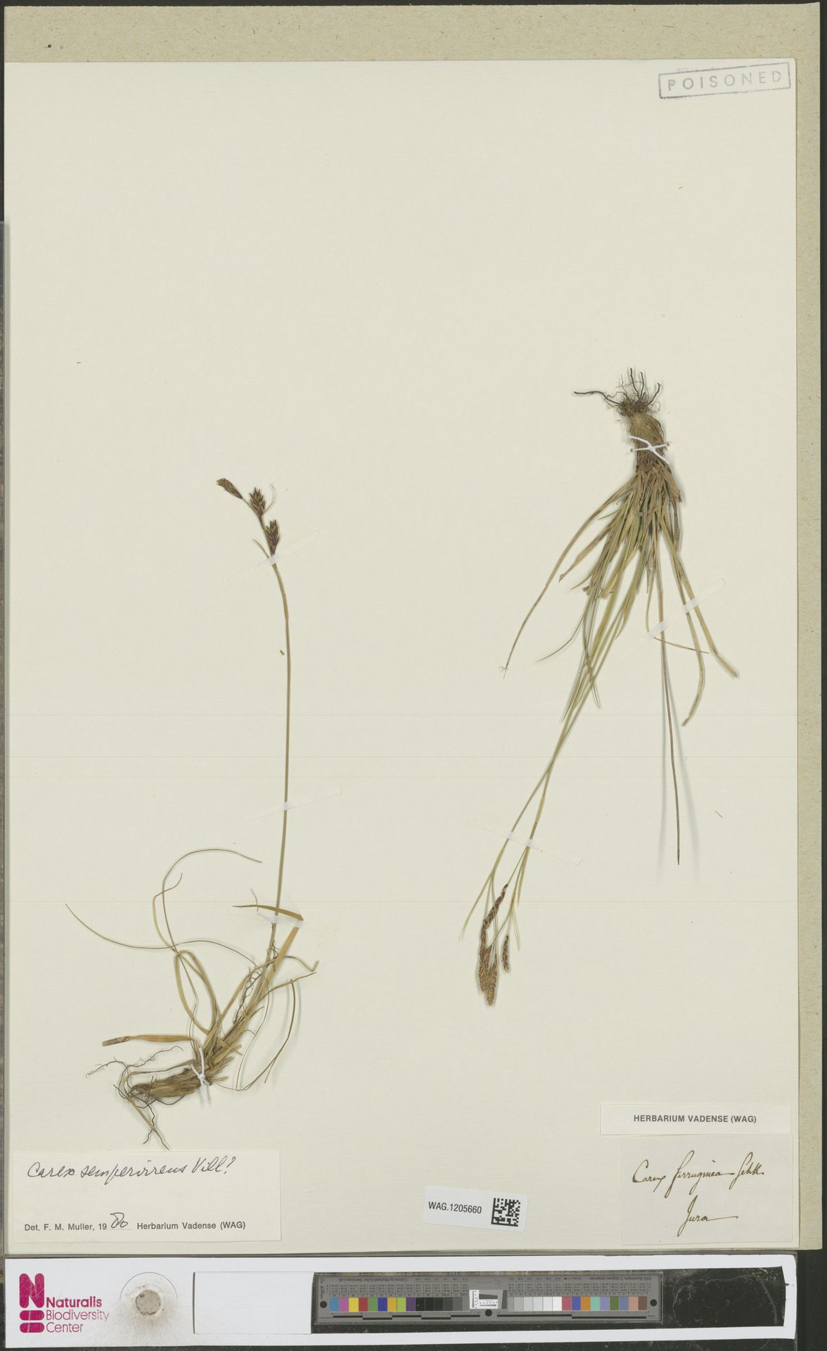 WAG.1205660 | Carex sempervirens Vill.