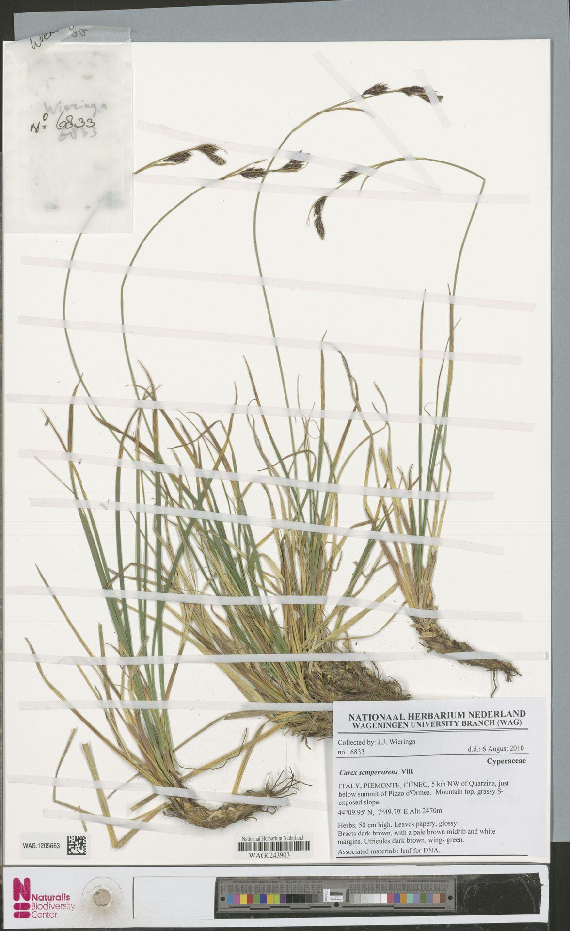 WAG.1205663 | Carex sempervirens Vill.