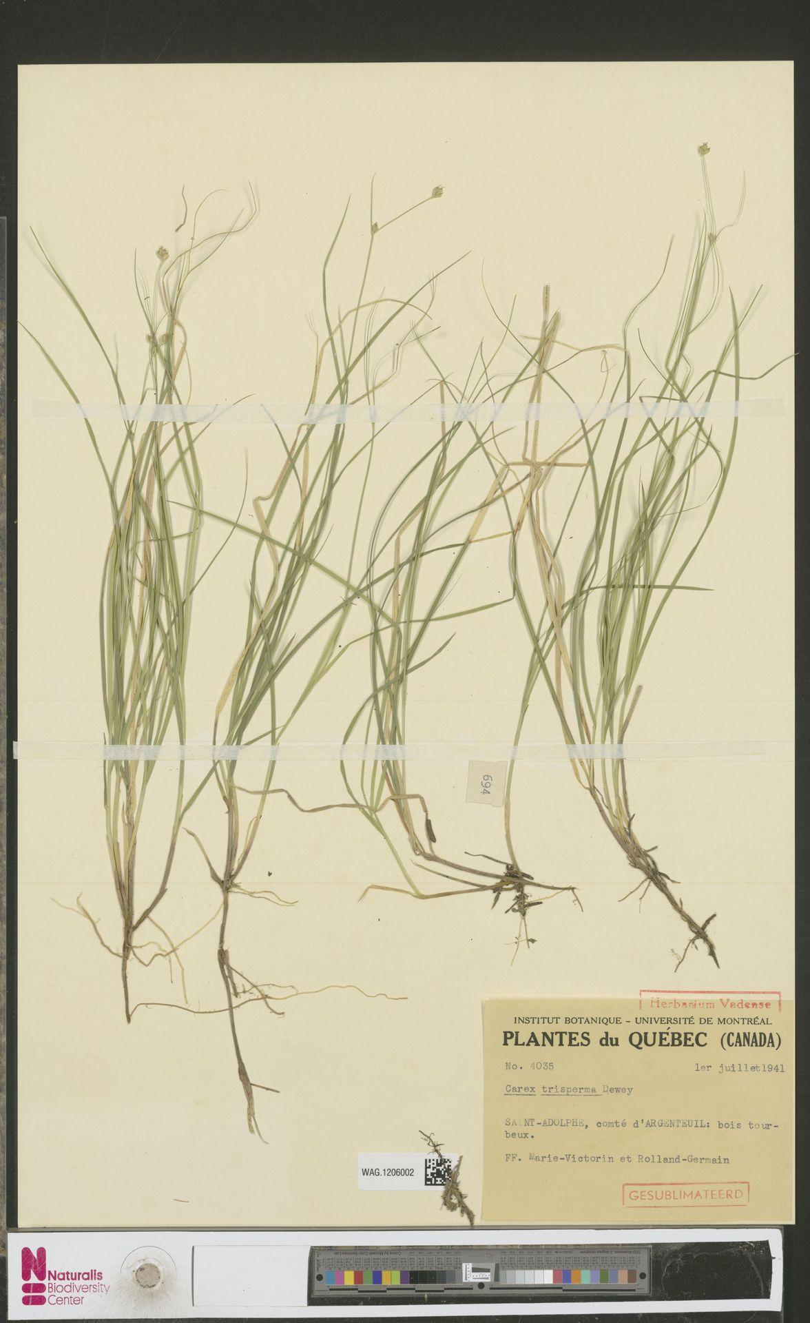 WAG.1206002 | Carex trisperma Dewey
