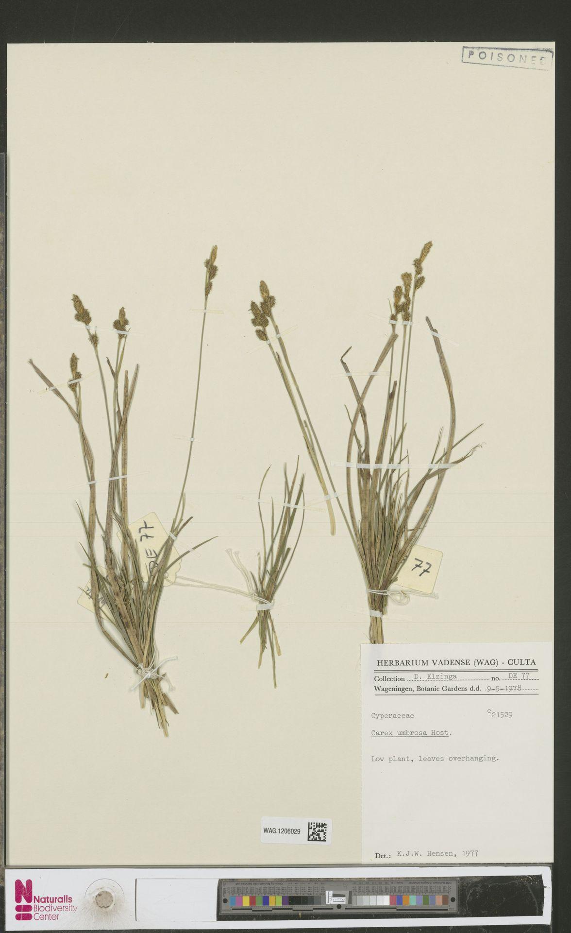 WAG.1206029 | Carex umbrosa Host