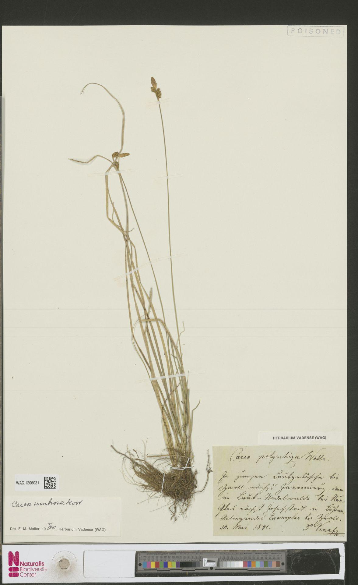 WAG.1206031 | Carex umbrosa Host