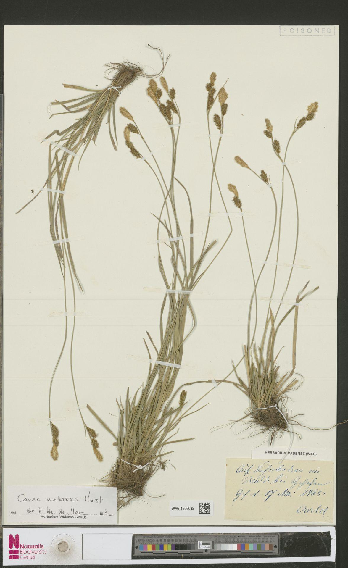 WAG.1206032 | Carex umbrosa Host