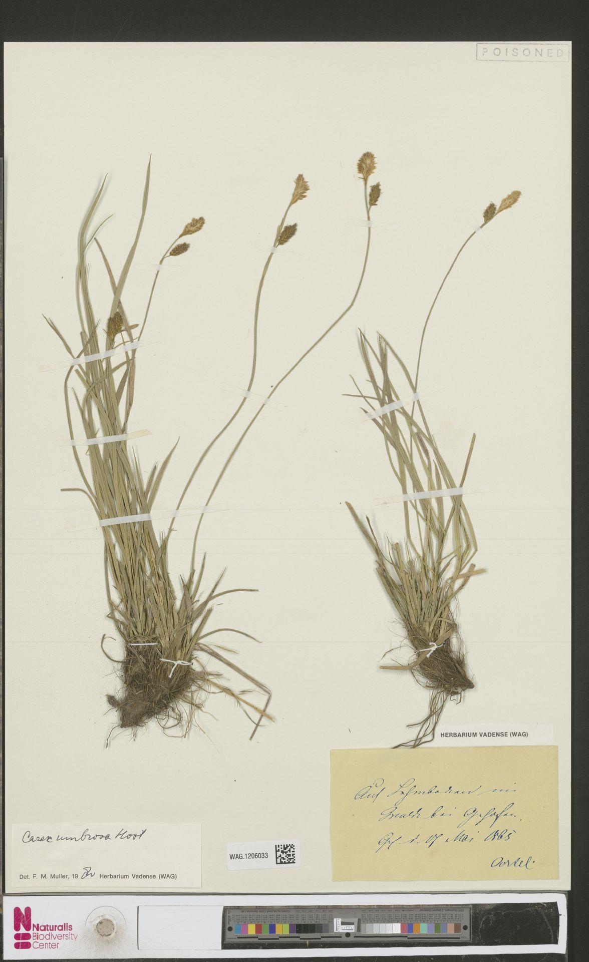WAG.1206033 | Carex umbrosa Host
