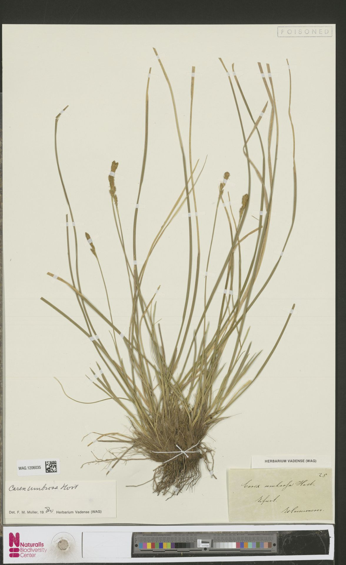 WAG.1206035 | Carex umbrosa Host