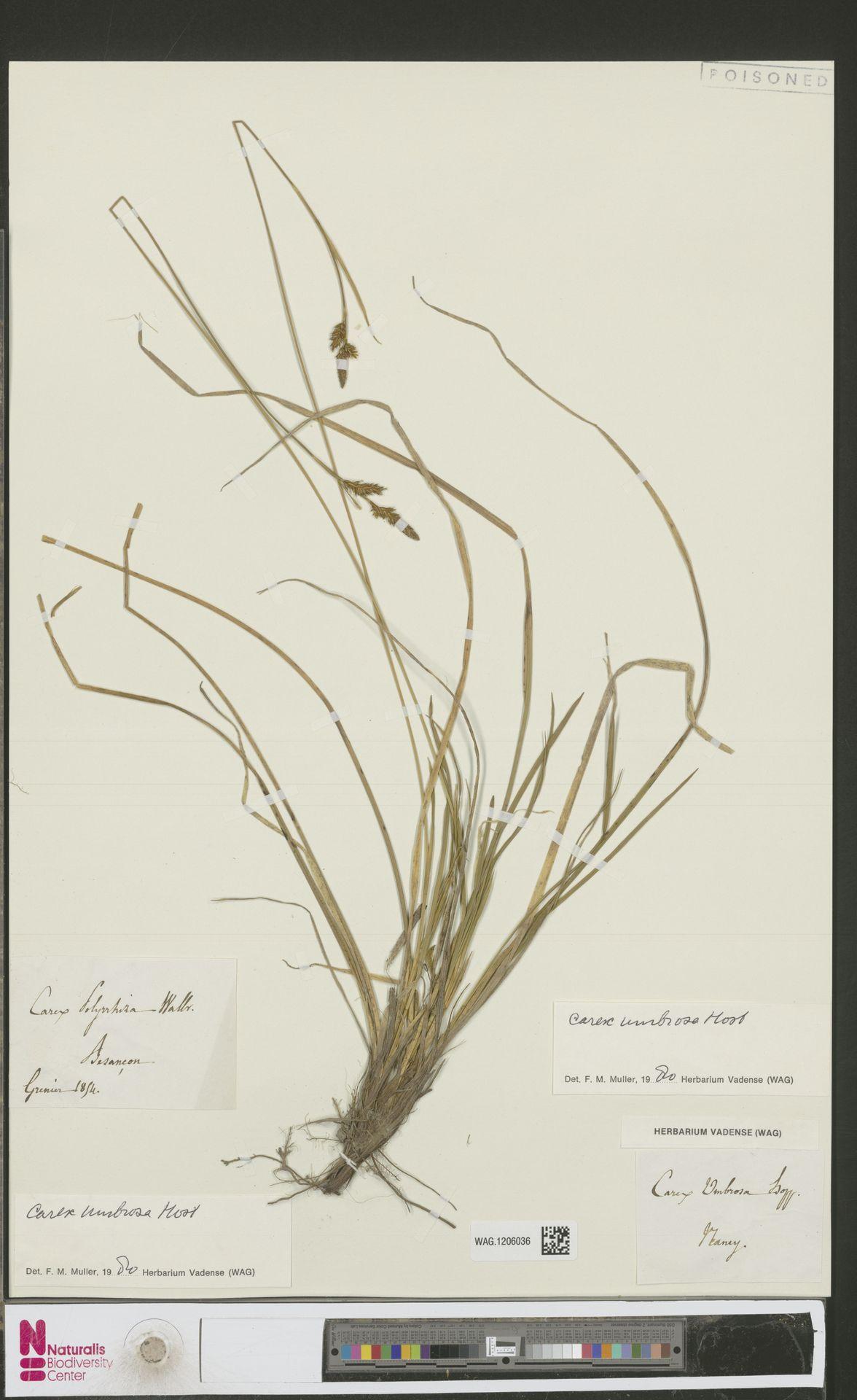 WAG.1206036 | Carex umbrosa Host