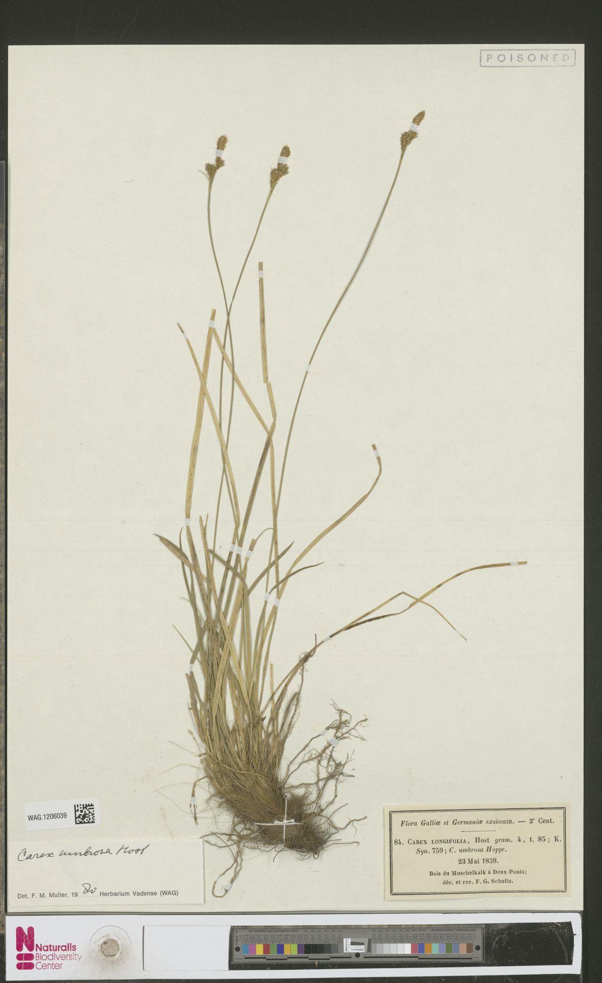 WAG.1206039   Carex umbrosa Host