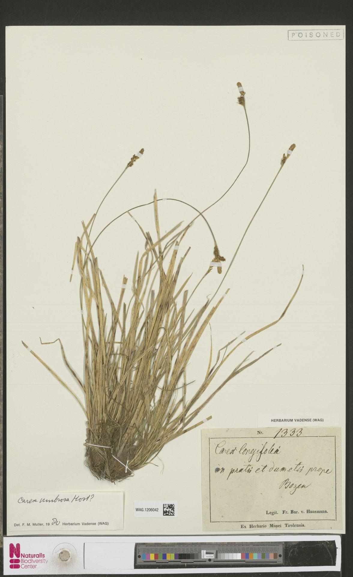 WAG.1206042 | Carex umbrosa Host