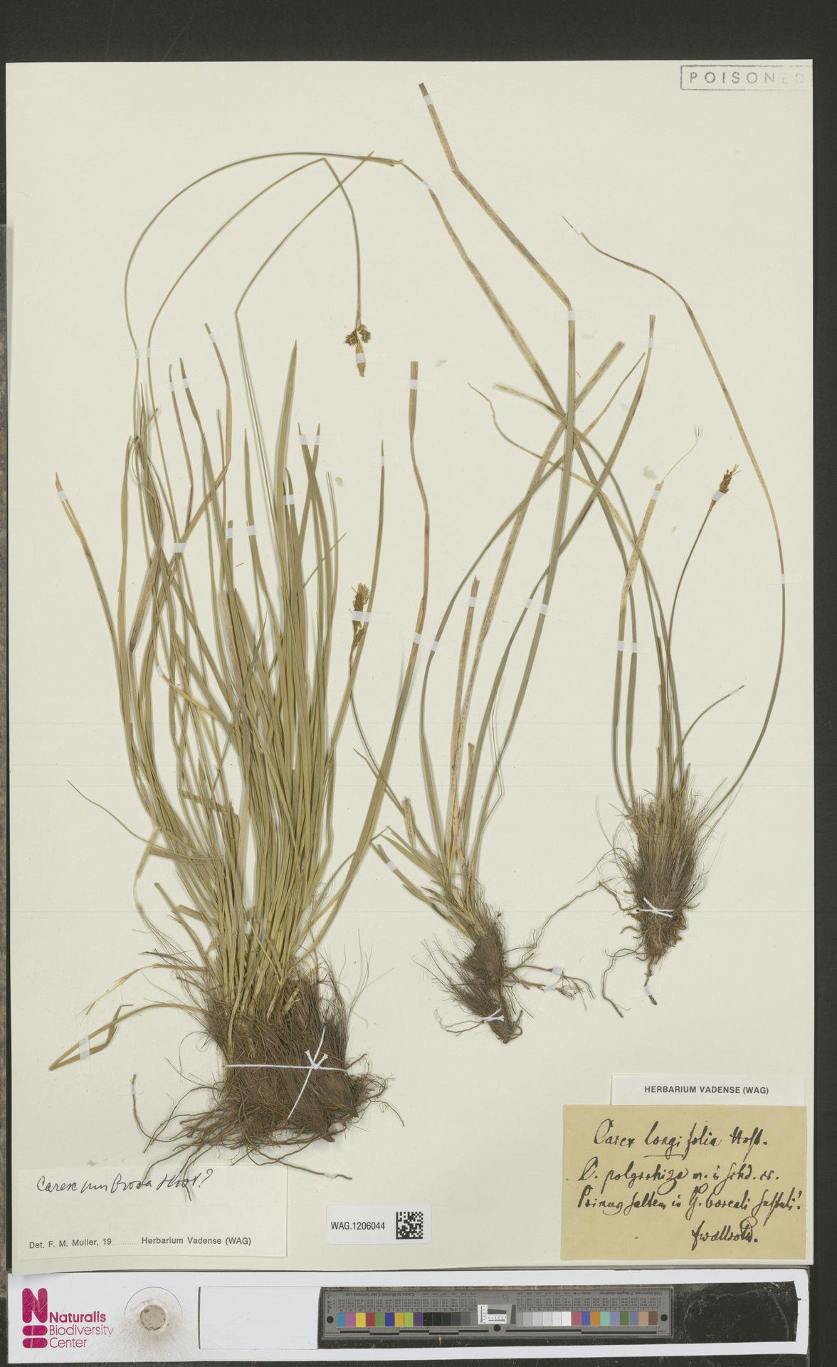 WAG.1206044 | Carex umbrosa Host