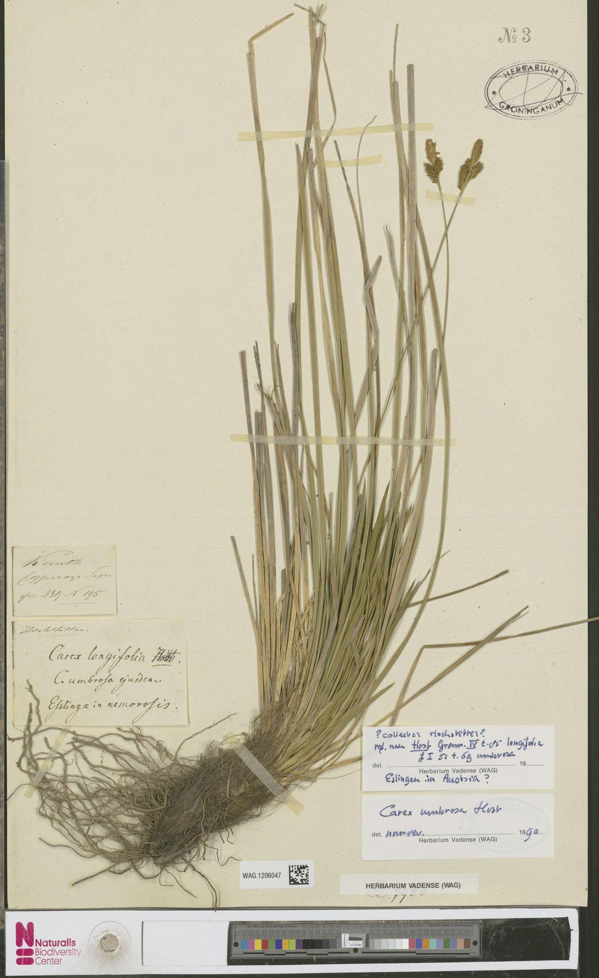 WAG.1206047 | Carex umbrosa Host