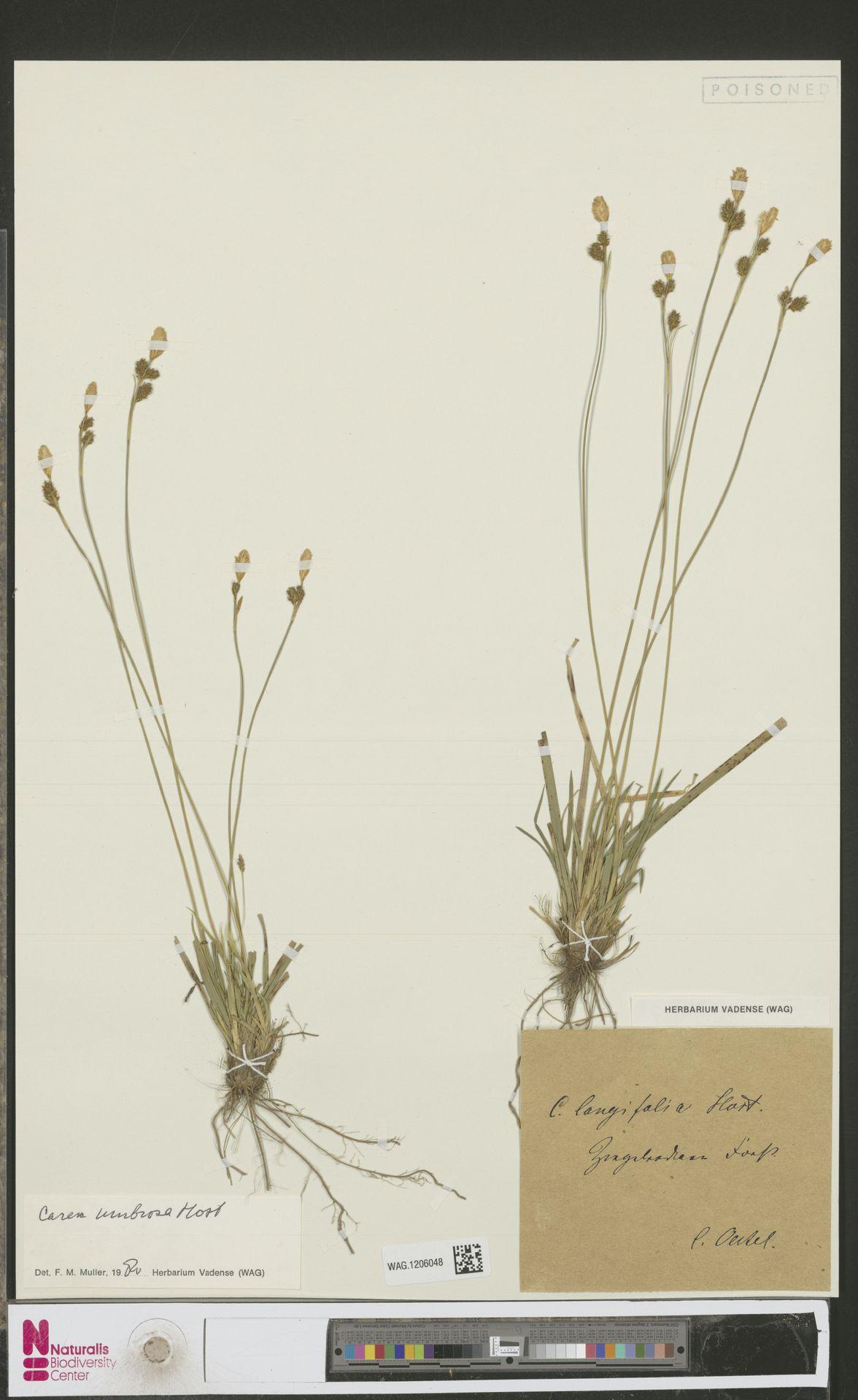 WAG.1206048 | Carex umbrosa Host