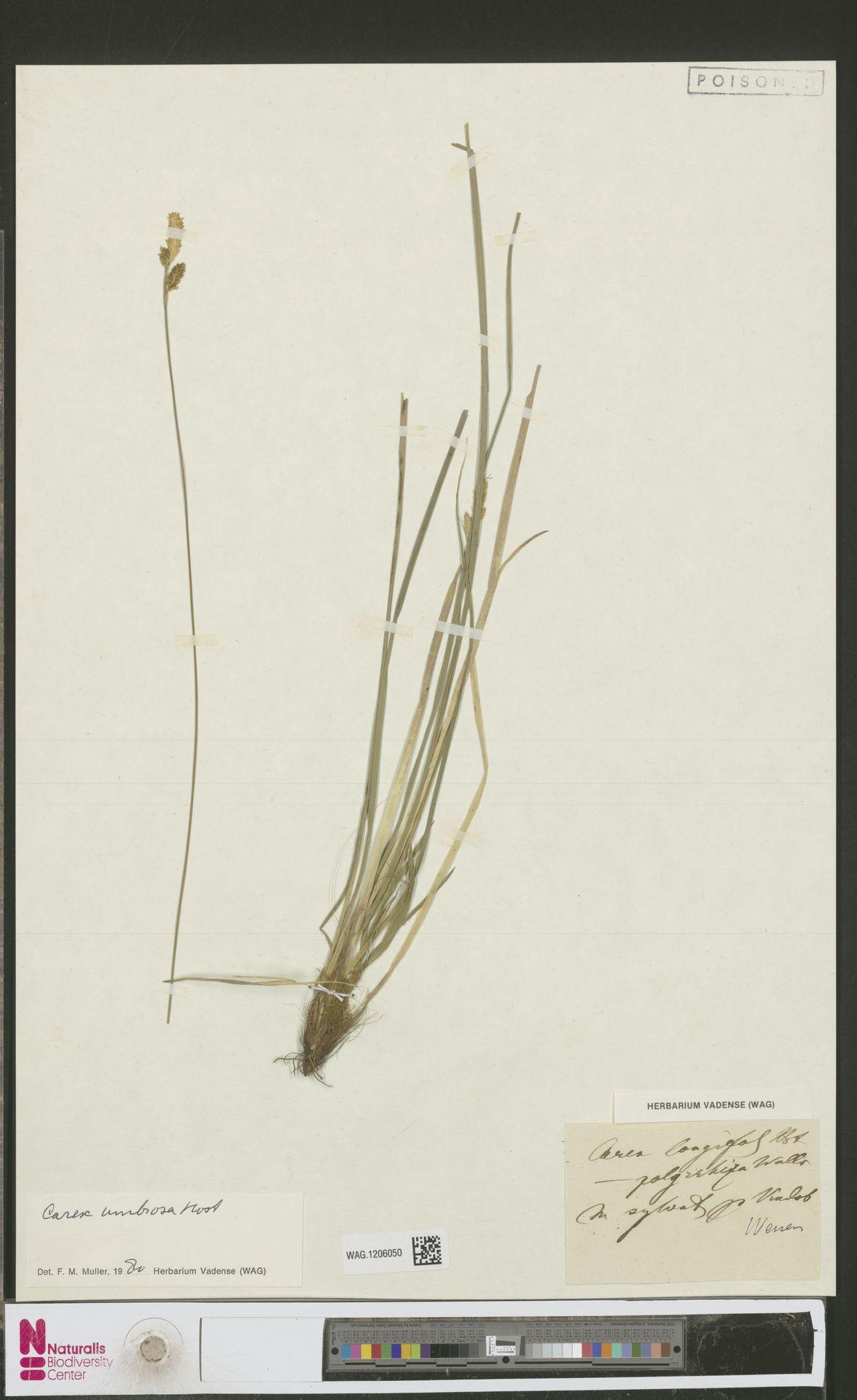 WAG.1206050 | Carex umbrosa Host